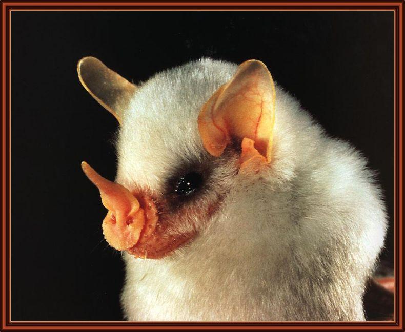 Гондурасские белые летучие мыши (9 фото)