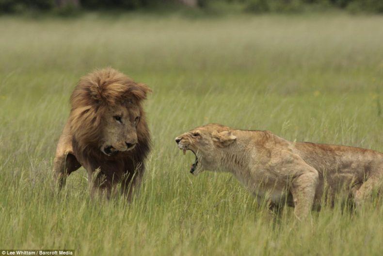 Женщин лучше не злить. Особенно, если речь о львицах. Настоящих львицах (3 фото)