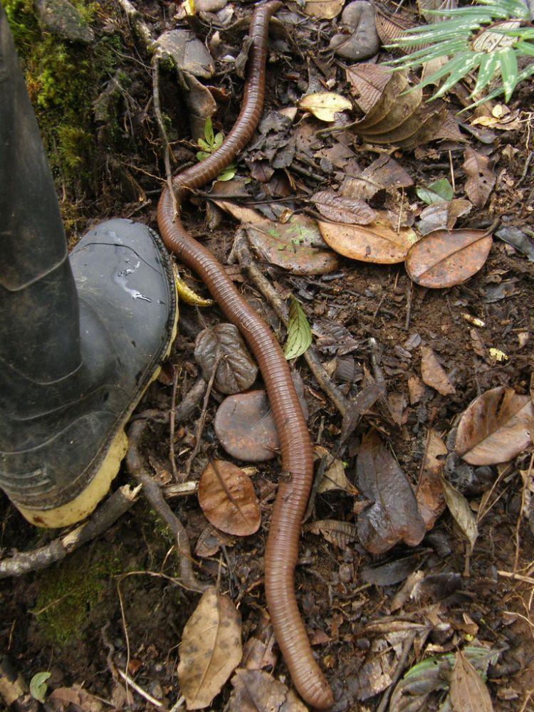 Червячки в Южной Америке (14 фото)