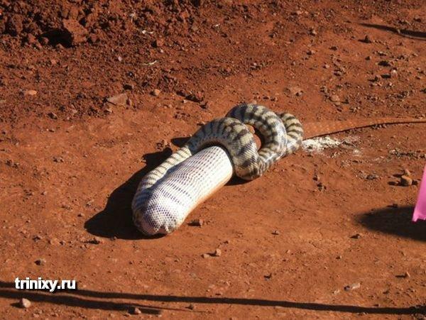Змея ест огромную ящерицу (10 фото)