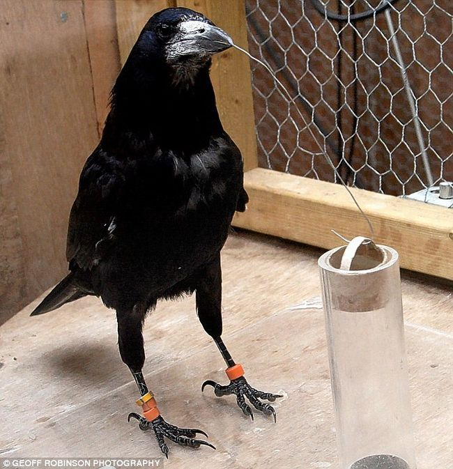 Грач - птица умная (4 фото)