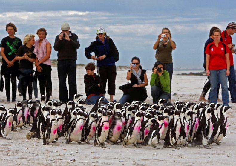 Прощание с пингвинами (13 фото)