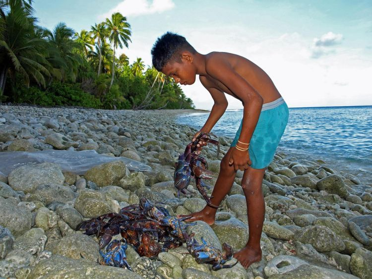 Пальмовый вор или кокосовый краб (27 фото)