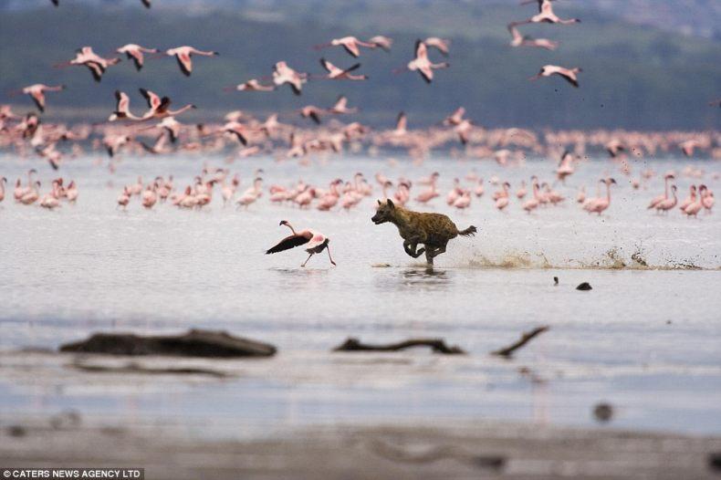 Розовый фламинго стал обедом (3 фото)