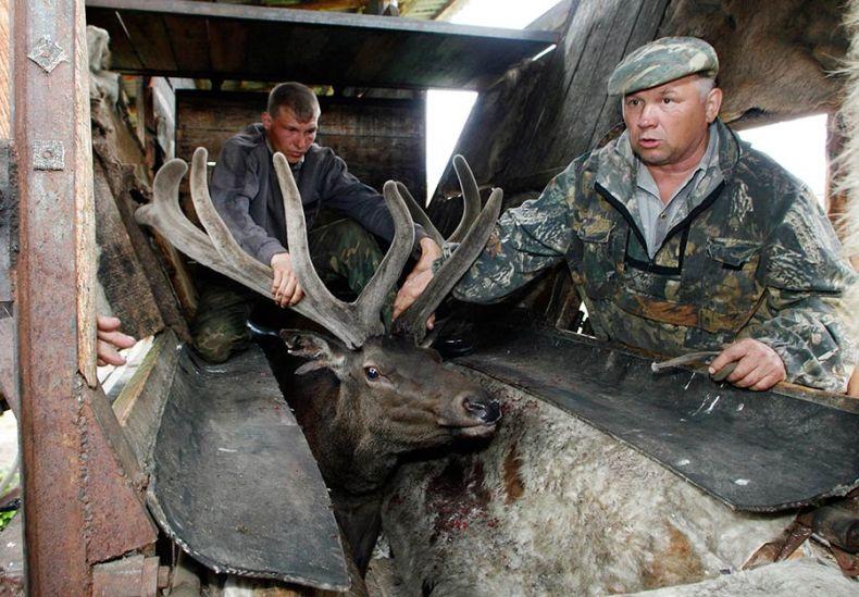 Срезание рогов (6 фото)