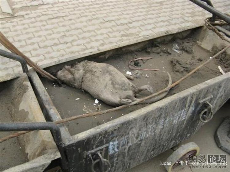 Китайская крыса (4 фото)