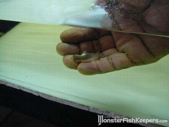 Рыбка с двумя головами (6 фото + видео)