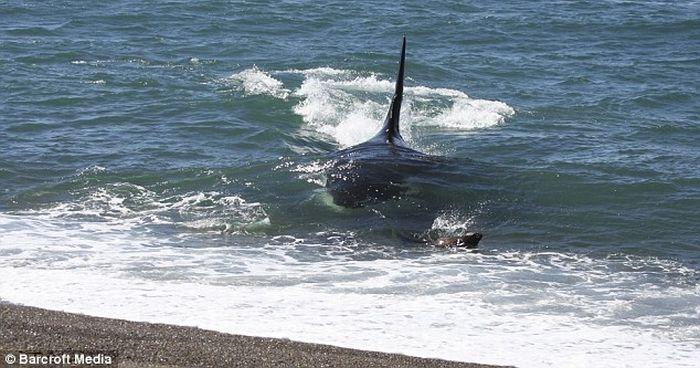 Тюлень убежал от касатки (4 фото)
