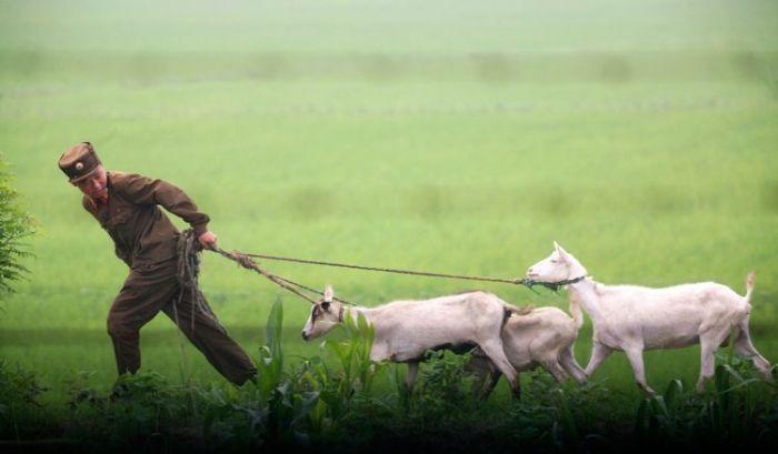 Тяжелая жизнь козла в Северной Корее (3 фото)