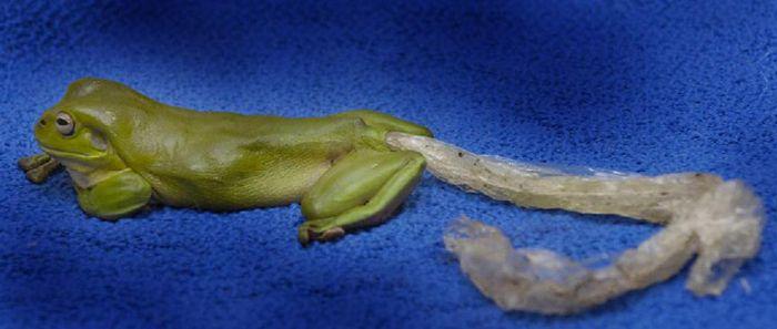Лягушка и пластиковый пакет (3 фото)