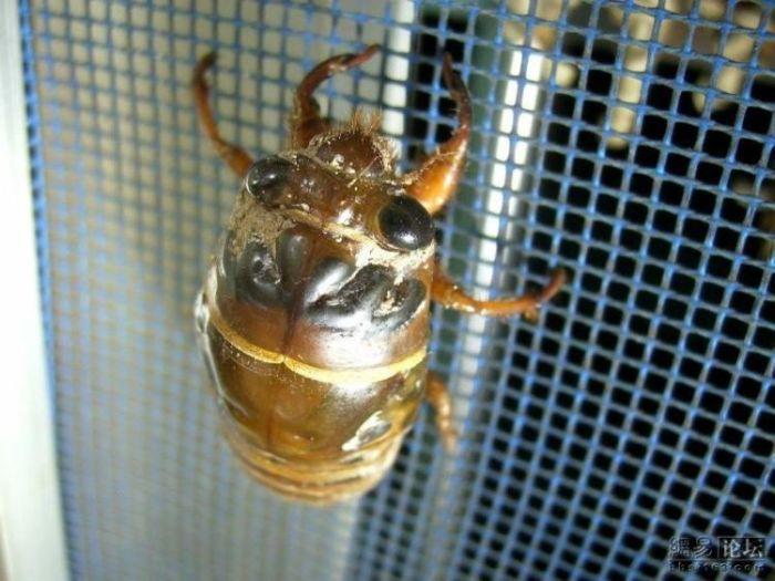 Превращение цикады (11 фото)