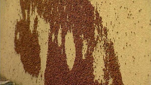 Нашествие божьих коровок (29 фото)
