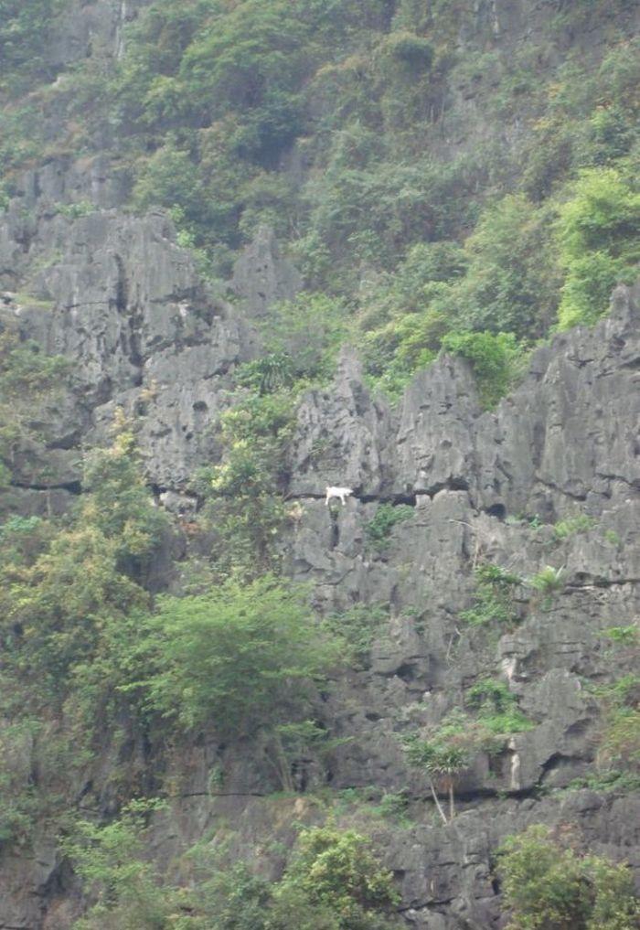Козлы на скалах (5 фото)