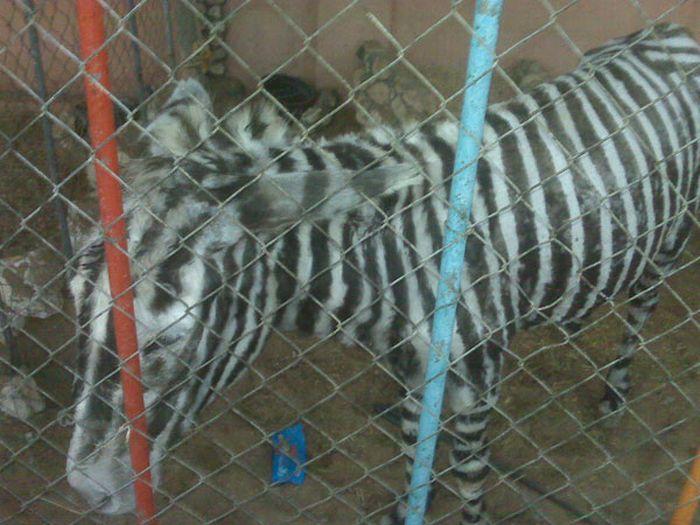 Единственная зебра в Секторе Газа (2 фото)