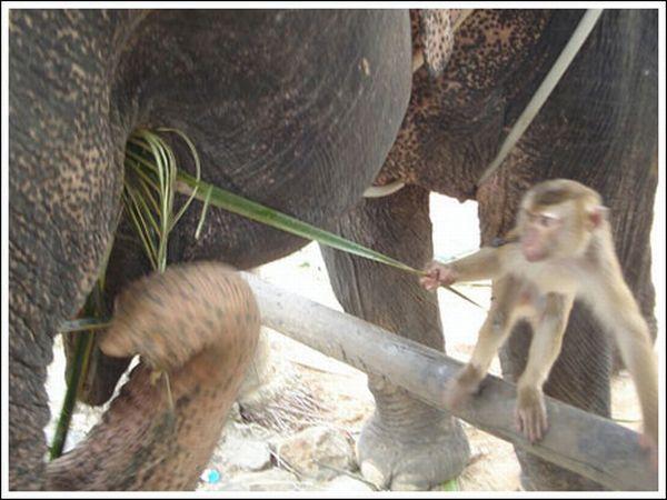 Обезьяна кормит слона (7 фото)