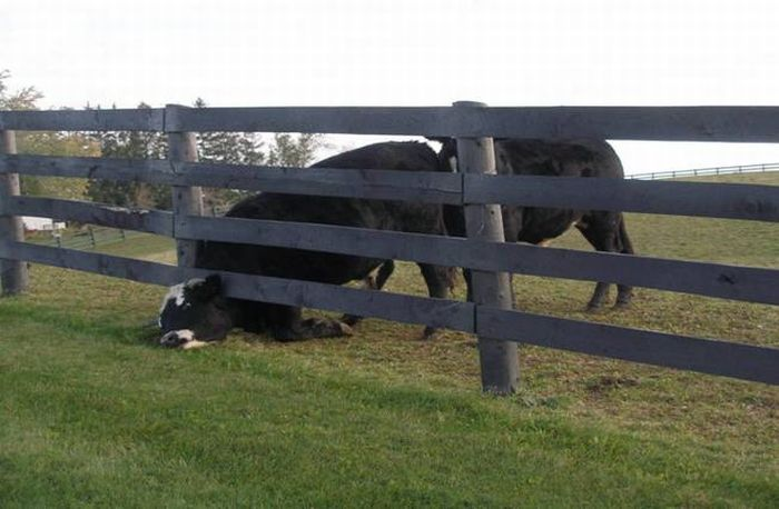 Застрявшие животные (35 фото)