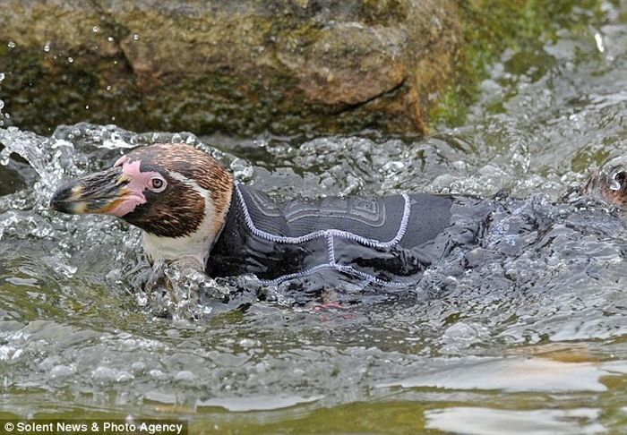 Костюм для пингвина (4 фото)