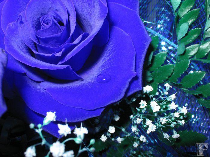 Голубые розы (24 фото)