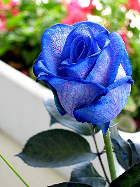 Описание: b Синяя роза символ - Мечты, Любви и Надежды.