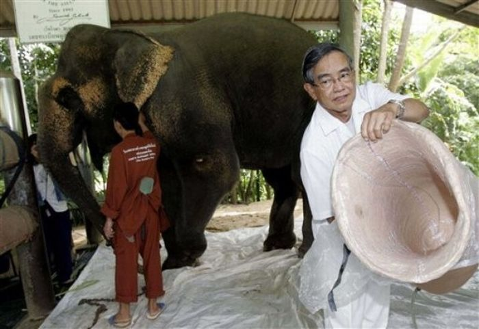 Протез для слонихи (13 фото)