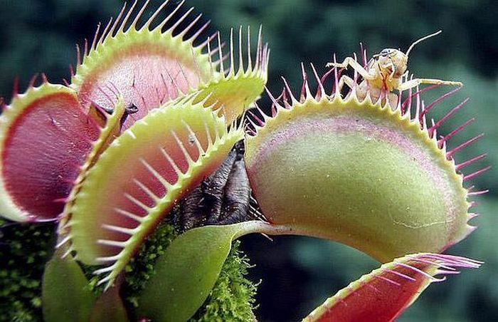 Плотоядные растения (45 фото)