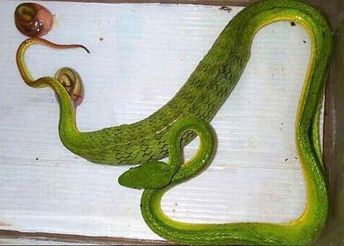 Как рожают змеи (4 фото)