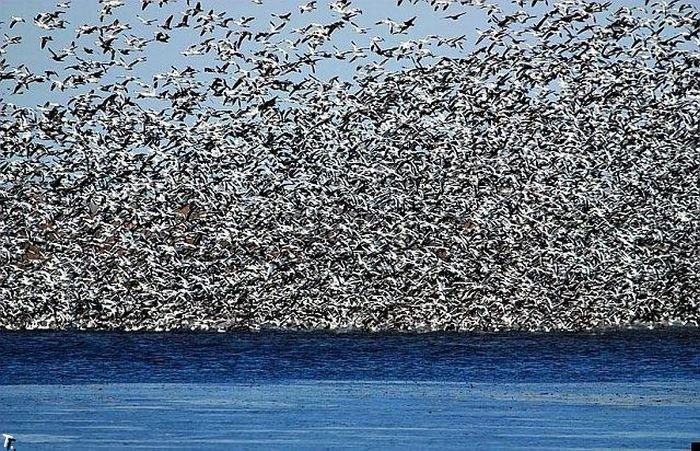 Огромная стая птиц (8 фото)