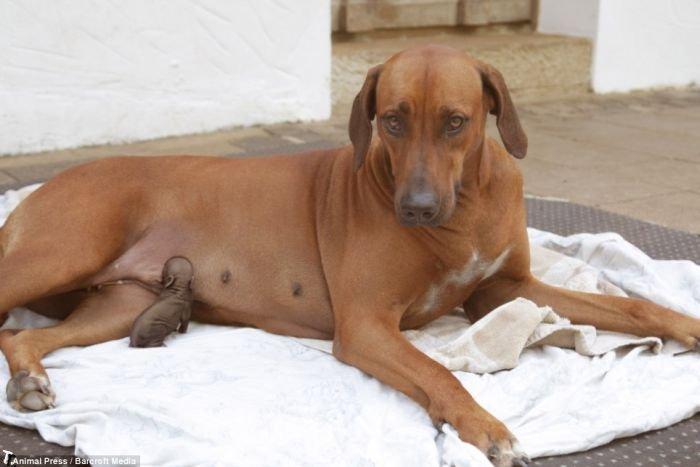 Собака усыновила брошенного поросенка (4 фото)