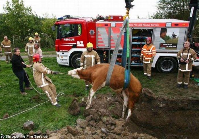 Спасение теленка (4 фото)