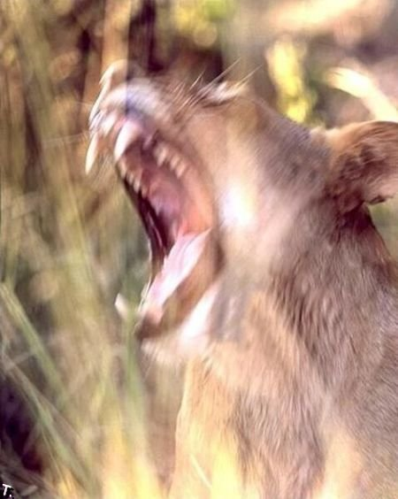 Зевающие животные. Часть 2 (38 фото)