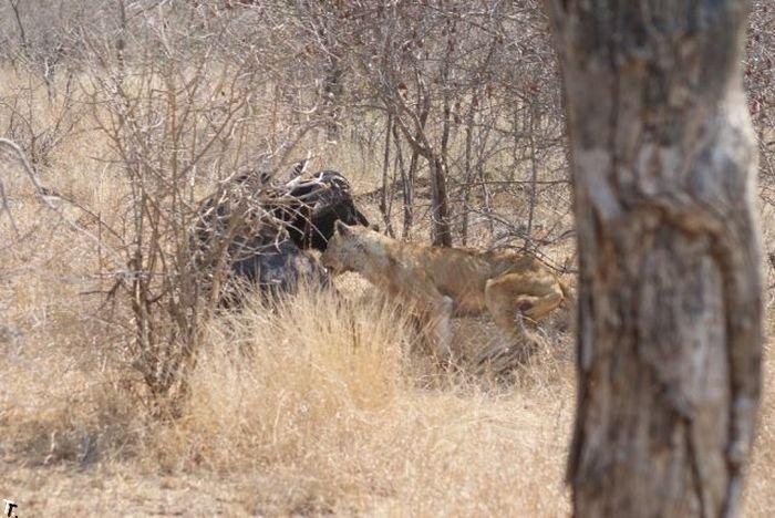 Охота львицы на буйвола (26 фото)