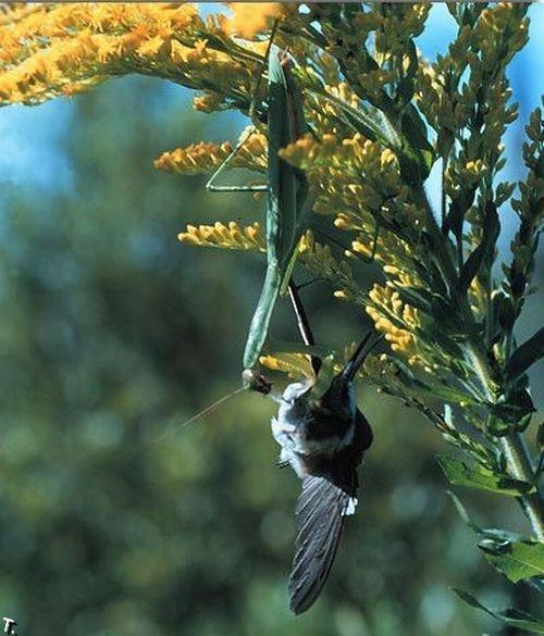 Насекомые, которые едят птиц (11 фото)