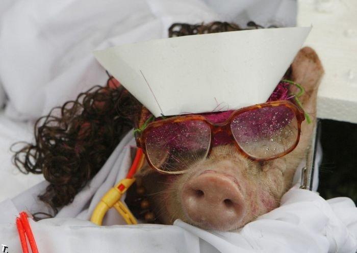 Свино-фестиваль (7 фото)