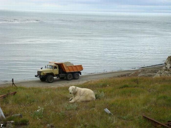 Белые медведи на стройке (13 фото)
