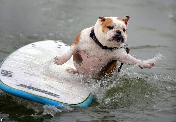 Собаки-серферы (17 фото)