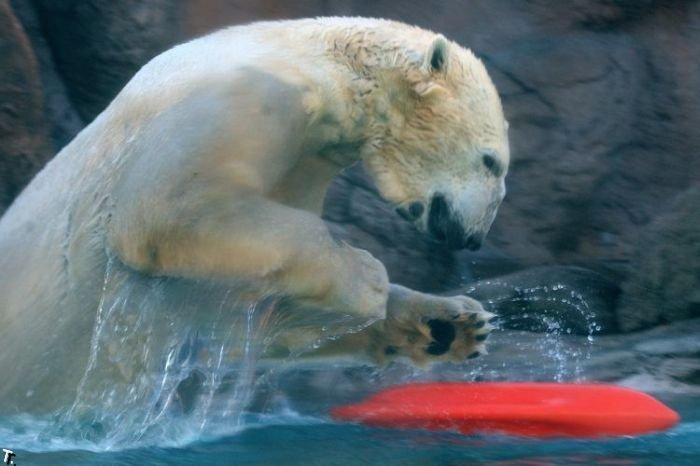 Белые медведи со своими игрушками (18 фото)