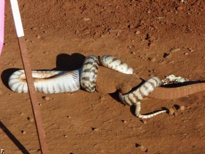 Змея съела огромную ящерицу (13 фото)