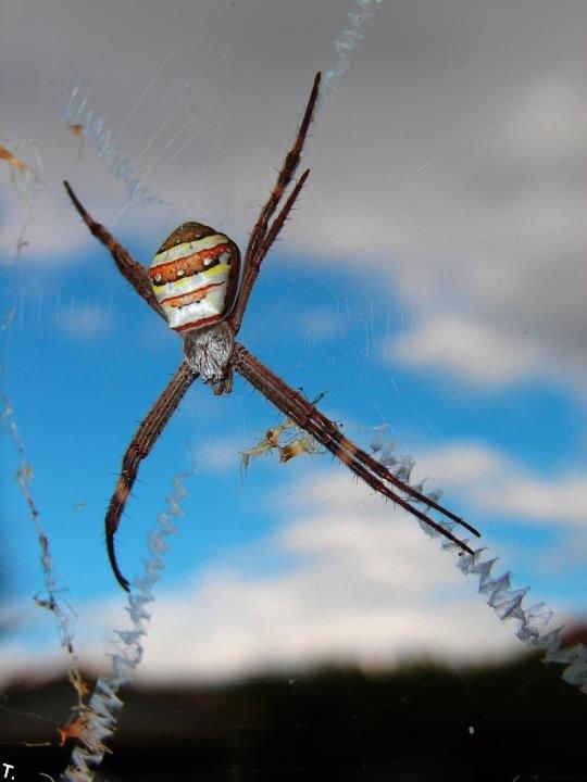 Пауки, украшающие свою паутину (15 фото)