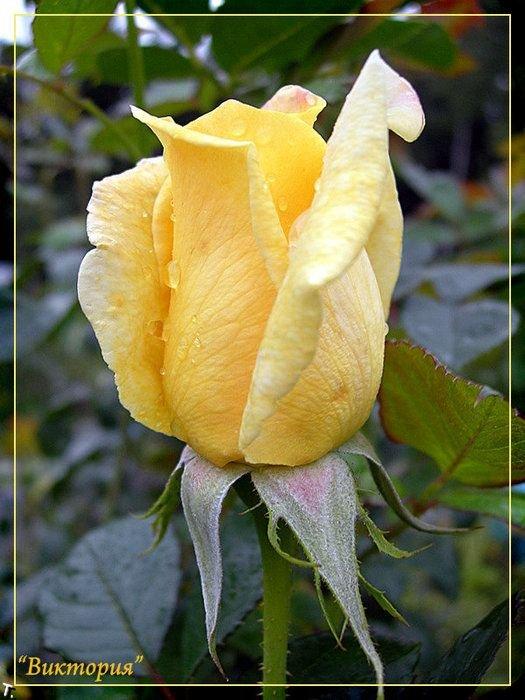 Желтые розы (32 фото)