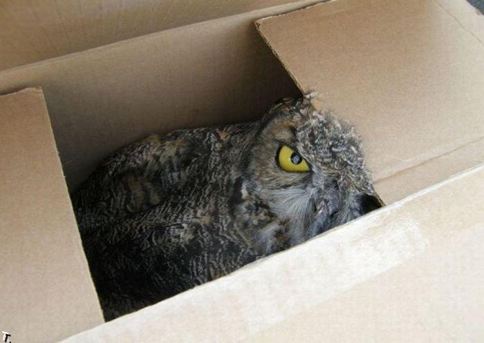 Сова в коробке (6 фото)