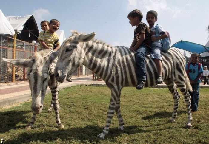 В секторе Газа двух ослов покрасили как зебр (4 фото)