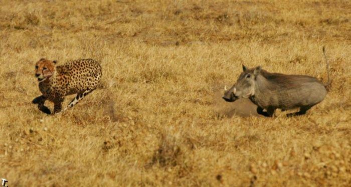 Кабаниха гоняется за гепардами (4 фото)