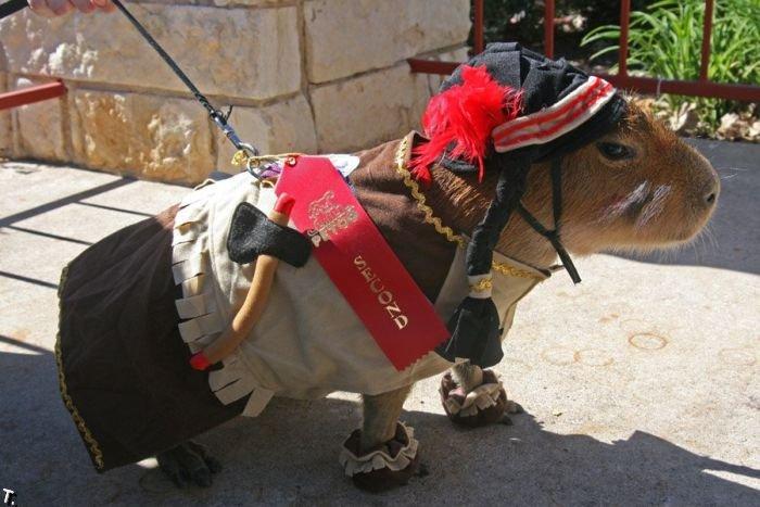 Капибара из Техаса (72 фото)