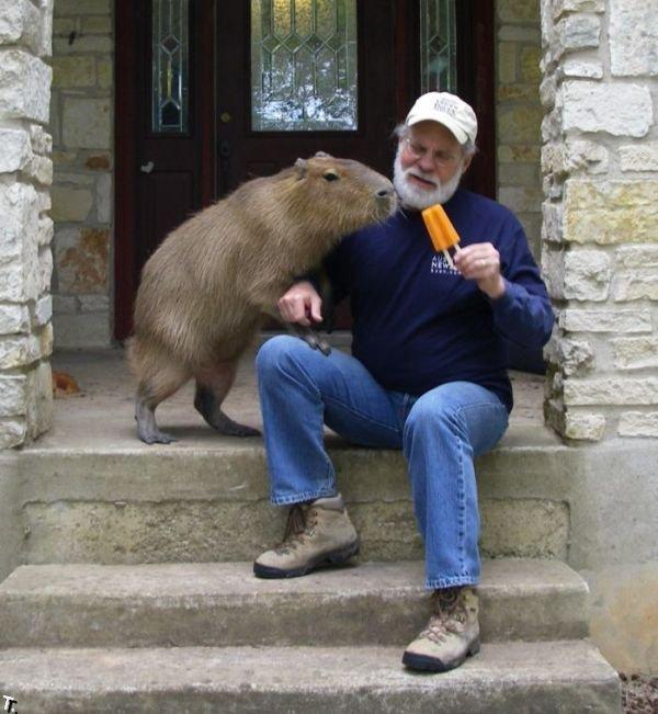капибара фото с человеком