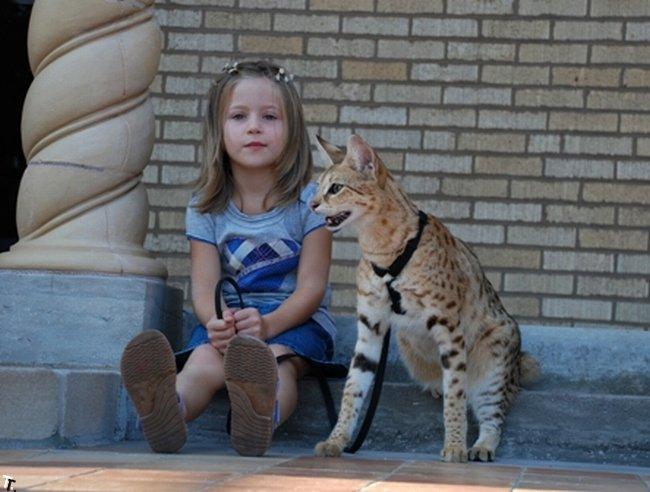 Самый высокий домашний кот в мире - саванский кот Мэйджик (12 фото + видео)