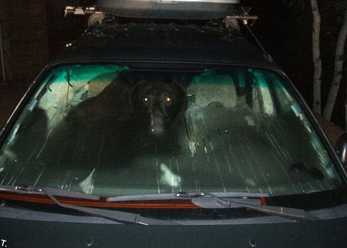 Медведь в машине (3 фото)