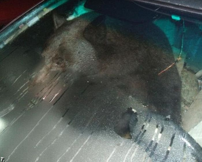 Медведь в машине (2 фото) .