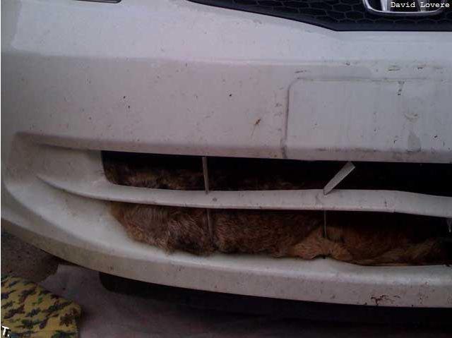 Койот выжил после удара на скорости 120 км/ч (6 фото)