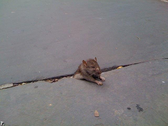 Фотожаба. Печальная застрявшая крыса (24 фото)