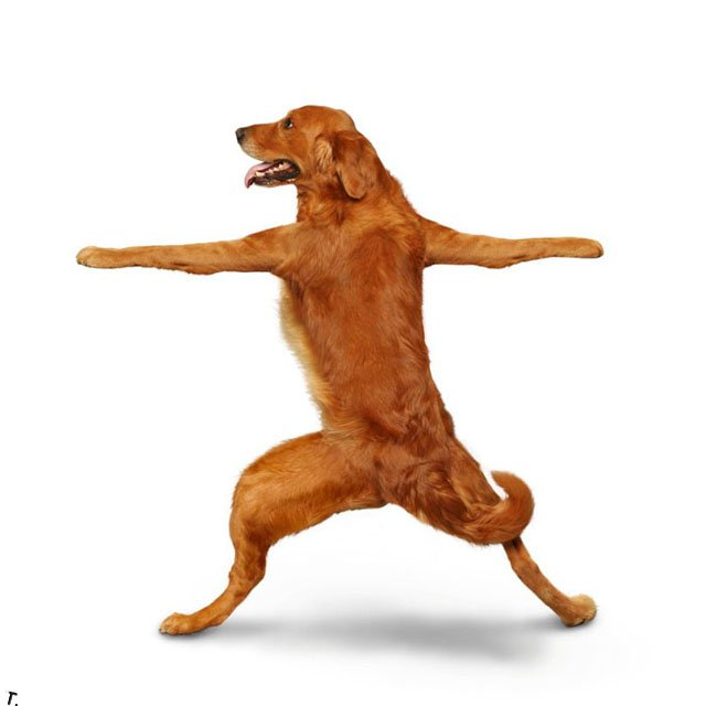 Собаки занимаются йогой (14 фото)